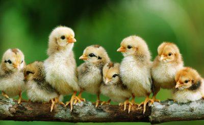 Cập nhật tất cả các bệnh thường gặp ở gà con bạn cần biết ngay