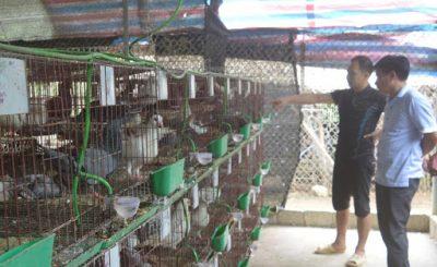 Mô hình nuôi chim bồ câu
