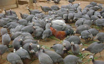 Kỹ thuật chăn nuôi gà sao thịt năng suất cao