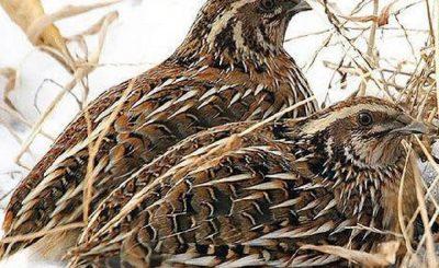 kỹ thuật nuôi chim cút đẻ trứng