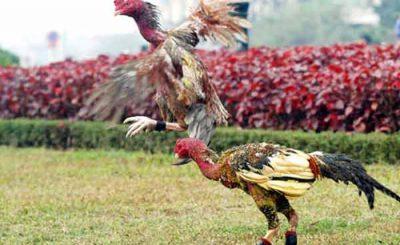 Kỹ thuật nuôi gà chọi thịt năng suất, hiệu quả nhất hiện nay
