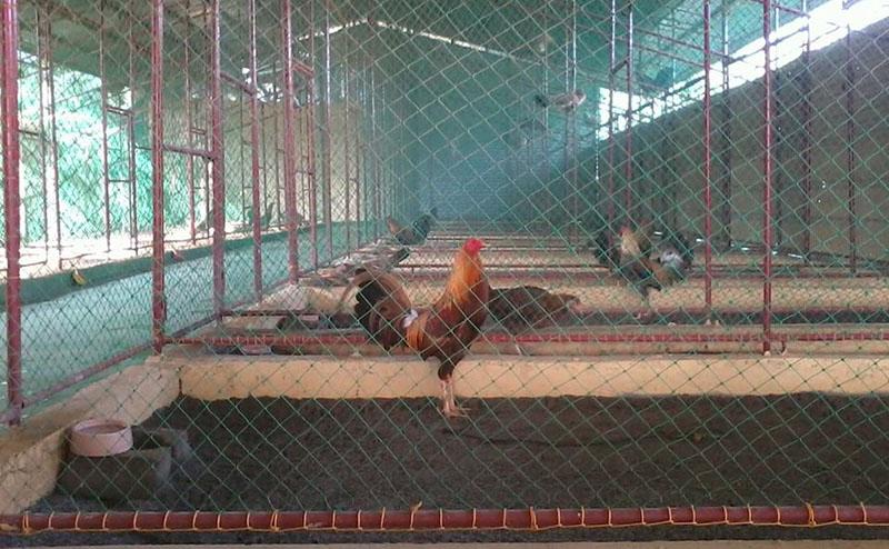 Làm chuồng gà chọi bằng lưới b40